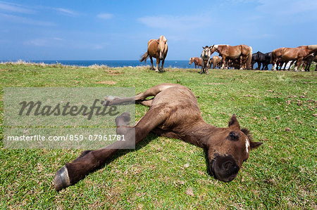Hokkaido Horses grazing Stock Photo - Rights-Managed, Image code: 859-07961781