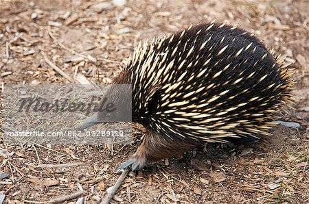 Australia,Victoria. A short-nosed echidna or spiny anteater. Stock Photo - Rights-Managed, Image code: 862-03289110