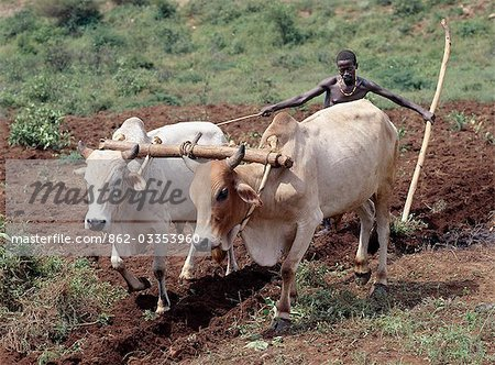 A Konso man ploughs his land with two yoked oxen. In the absence of modern farming methods,a wooden stave serves as his plough. Traditional agricultural methods are widely used in Ethiopia.. Stock Photo - Rights-Managed, Image code: 862-03353960