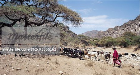 Maasai pastoralists water their livestock at the seasonal Sanjan River,which rises in the Gol Mountains of northern Tanzania. Stock Photo - Rights-Managed, Image code: 862-03355162