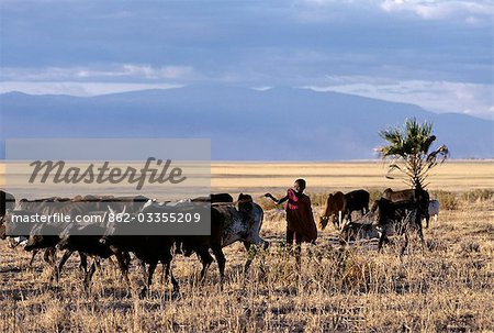In the late afternoon,a Maasai boy drives his father's cattle home across the grassy plains west of the Lake Manyara National Park. Stock Photo - Rights-Managed, Image code: 862-03355209