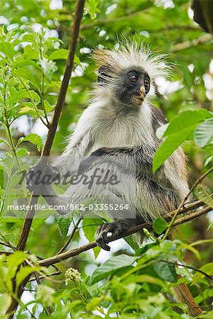 East Africa,Tanzania,Zanzibar. Red Colobus Monkey,Jozani Forest Reserve. One of Africa's rarest primates,the Zanzibar red colobus may number only about 1500. Isolated on this island for at least 1,000 years,the Zanzibar red colobus (Procolobus kirkii) is recognized as a distinct species,with different coat patterns,calls and food habits than the related colobus species on the mainland. Stock Photo - Rights-Managed, Image code: 862-03355264