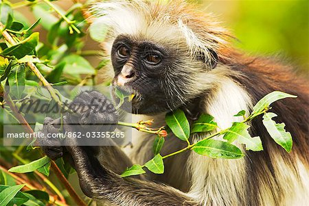 East Africa,Tanzania,Zanzibar. Red Colobus Monkey,Jozani Forest Reserve. One of Africa's rarest primates,the Zanzibar red colobus may number only about 1500. Isolated on this island for at least 1,000 years,the Zanzibar red colobus (Procolobus kirkii) is recognized as a distinct species,with different coat patterns,calls and food habits than the related colobus species on the mainland. Stock Photo - Rights-Managed, Image code: 862-03355265