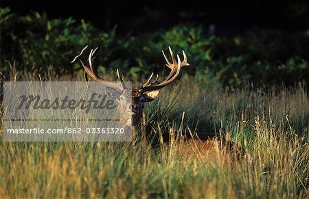 Red deer stag Stock Photo - Rights-Managed, Image code: 862-03361320