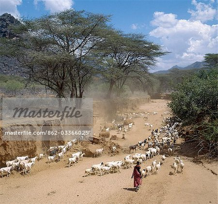 A Samburu girl drives her family's flocks of fat-tailed sheep and goats to grazing grounds after her brothers have watered them from wells dug in the Milgis - a wide,sandy seasonal watercourse that is a lifeline for Samburu pastoralists in the low-lying,semi-arid region of their land. Stock Photo - Rights-Managed, Image code: 862-03366025