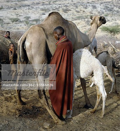 A Samburu woman milks a camel at her homestead in the early morning. The proximity of the calf helps to stimulate the flow of milk. Baby camels have a wool-like texture to their coats,which they lose after six month. Stock Photo - Rights-Managed, Image code: 862-03366026