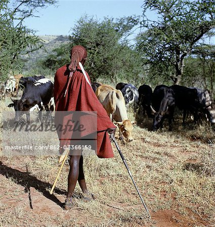 A Maasai warrior resplendent with his long ochred braids tied in a pigtail watches over his family's cattle,spear in hand. The singular hairstyle of warriors sets them apart from other members of their society. Stock Photo - Rights-Managed, Image code: 862-03366159