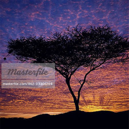 An Acacia tree silhouetted against a brilliant sunrise.