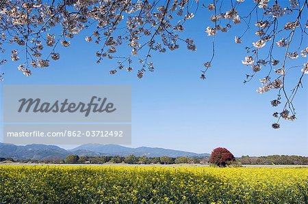 Saito baru burial mounds with spring cherry tree blossom and field of rape seed