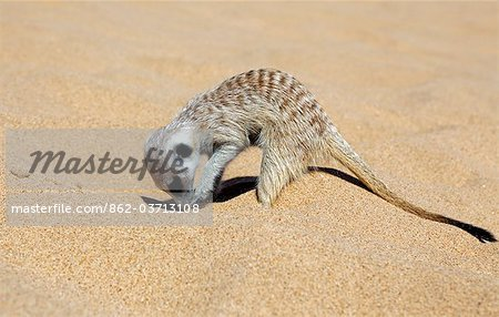 Africa, Namibia, Skeleton Coast. A meerkat (Suricata suricatta) burrowing into the sand of the coastal dune belt