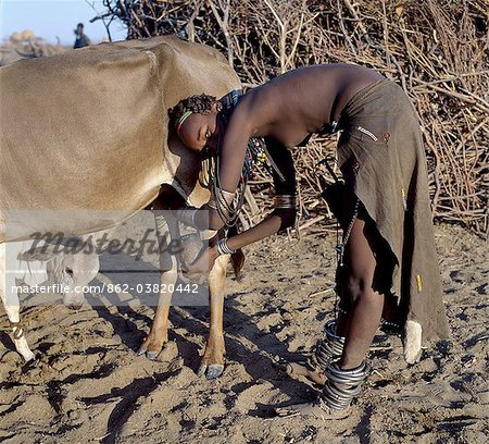 In the early morning, a Dassanech girl milks a cow outside a settlement of the Dassanech people in the Omo Delta of Southwest Ethiopia.The nearness of the calf increases the flow of milk.The girls decorated leather skirt and adornment are typical of the young women of her tribe. Stock Photo - Rights-Managed, Image code: 862-03820442