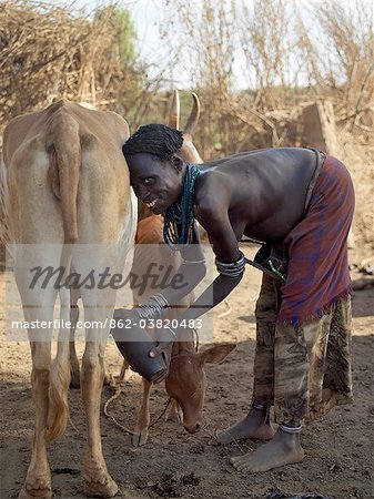A Dassanech woman milks her familys cattle in the early morning.The Dassanech speak a language of Eastern Cushitic origin.They live in the Omo Delta and they practice animal husbandry and fishing as well as agriculture. Stock Photo - Rights-Managed, Image code: 862-03820483