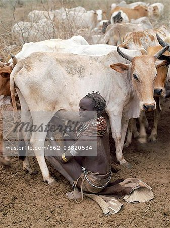 A Nyangatom woman milks her familys cows early in the morning. It is the sole responsibility of women and children to milk cows, Nyangatom men will never do so.The Nyangatom are one of the largest tribes and arguably the most warlike people living along the Omo River in Southwest Ethiopia. Stock Photo - Rights-Managed, Image code: 862-03820534