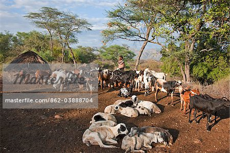 In the early morning, a Pokot woman milks her familys goats in the stock pen of her husbands settlement. The Pokot are pastoralists speaking a Southern Nilotic language. Stock Photo - Rights-Managed, Image code: 862-03888704