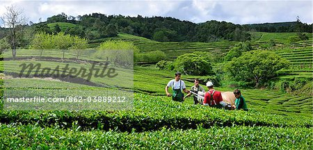 Workers picking the tea leaves at Gorreana tea plantations. Sao Miguel, Azores islands, Portugal Stock Photo - Rights-Managed, Image code: 862-03889212