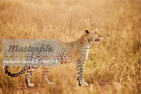 Tanzania, Serengeti. A leopard boldly stands in the long grasses near Seronera. Stock Photo - Rights-Managed, Image code: 862-03890053