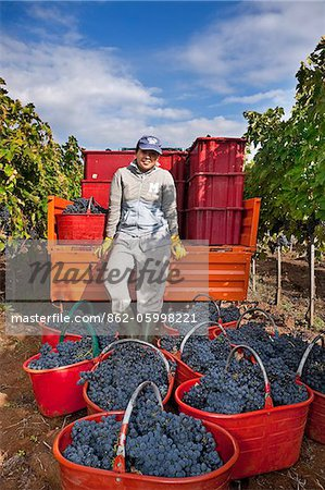 Italy, Umbria, Terni district, Giove, Grape harvest in Sandonna winery Stock Photo - Rights-Managed, Image code: 862-05998221