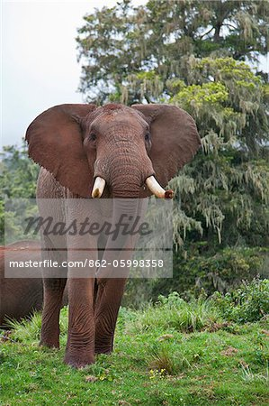 An African bull elephant in a forest glade of the Aberdare Mountains. Stock Photo - Rights-Managed, Image code: 862-05998358
