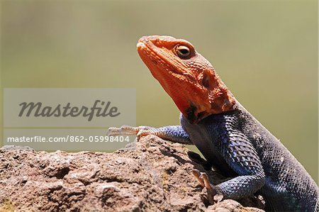 Portrait of a common (or red-headed rock) agama, basking on a rock in Lake Nakuru National Park, Kenya. Stock Photo - Rights-Managed, Image code: 862-05998404