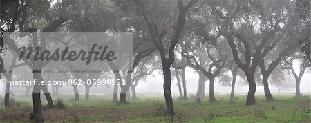 Cork trees in the mist. Portugal Stock Photo - Rights-Managed, Image code: 862-05998951