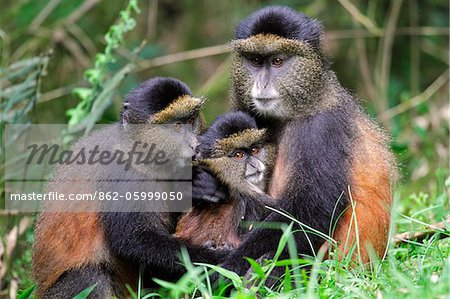 Golden monkey (Cercopithecus mitis kandti) with young in a grassy clearing in bamboo forest on the slopes of Volcanoes National Park, Rwanda. Stock Photo - Rights-Managed, Image code: 862-05999050