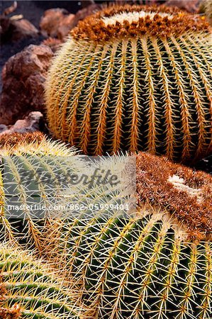 Detail of a Cactus in Lanzarote, Spain Stock Photo - Rights-Managed, Image code: 862-05999401