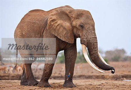 A large bull elephant at a waterhole in Tsavo East National Park. Stock Photo - Rights-Managed, Image code: 862-06542180