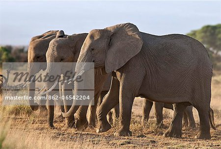 Elephants feeding on dried grass and browse. Stock Photo - Rights-Managed, Image code: 862-06542204