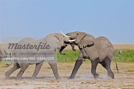 Two young bull elephants spar at Amboseli. Stock Photo - Rights-Managed, Image code: 862-06542213