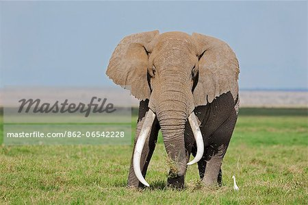 A large bull elephant feeds on grass in the permanent swamps at Amboseli while a cattle egret waits in close proximity to pounce on the insects it disturbs. Stock Photo - Rights-Managed, Image code: 862-06542228