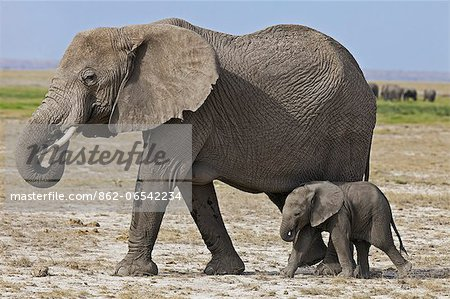 A baby elephant follows its mother beside the permanent swamps at Amboseli. Stock Photo - Rights-Managed, Image code: 862-06542234