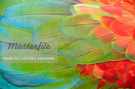 Parrot feathers at Bocas del Toro near Isla Colon, Panama, Central America Stock Photo - Rights-Managed, Image code: 862-06542662