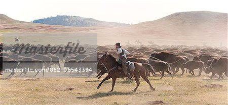 Buffalo Roundup in Custer State Park, Black Hills, South Dakota, USA Stock Photo - Rights-Managed, Image code: 862-06543394
