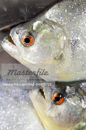 South America, Brazil, Amazonas, freshly caught Black or Red Eye piranha, Serrasalmus rhombeus, Stock Photo - Rights-Managed, Image code: 862-06675721