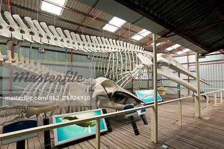 Australia, Western Australia, Albany, Frenchman Bay.  Blue whale and Humpback whale skeletons at Whale World museum, at the former Cheynes Beach Whaling Station. Stock Photo - Rights-Managed, Image code: 862-06824910