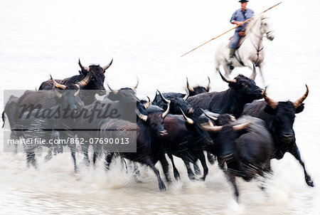 Black bulls of Camargue and their herder running through the water, Camargue, France Stock Photo - Rights-Managed, Image code: 862-07690013