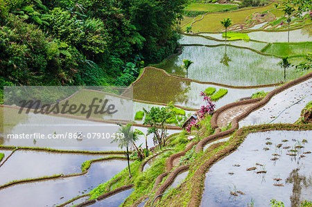 Asia, South East Asia, Philippines, Cordilleras, Banaue; a local farmer working in the UNESCO World heritage listed Ifugao rice terraces near Banaue Stock Photo - Rights-Managed, Image code: 862-07910419