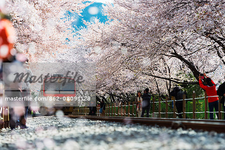 Asia, Republic of Korea, South Korea, Jinhei, spring cherry blossom festival, tree lined train line Stock Photo - Rights-Managed, Image code: 862-08091128