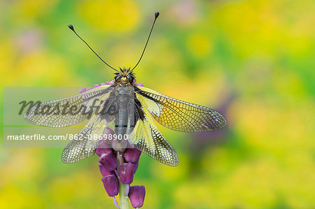 Gaiano,Parma,Emilia Romagna,Italy.  Portrait of a macro libelloide with open wings Stock Photo - Rights-Managed, Image code: 862-08698900