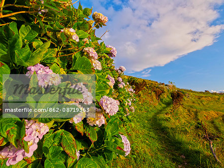 Portugal, Azores, Flores, Hortensias on the path between Mosteiro and Lajedo villages. Stock Photo - Rights-Managed, Image code: 862-08719363