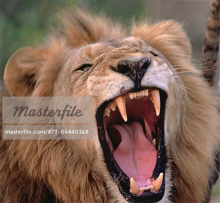 Close-Up of Lion Roaring Stock Photo - Rights-Managed, Image code: 873-06440168