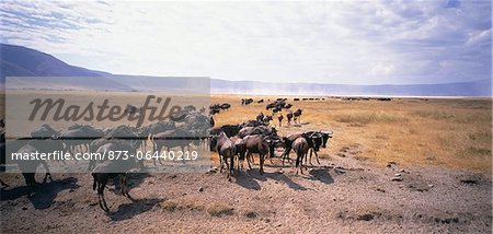 Wildebeest Serengeti, Tanzania Stock Photo - Rights-Managed, Image code: 873-06440219