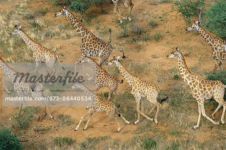 Aerial View of Giraffe Herd Running Erindi, Namibia, Africa Stock Photo - Rights-Managed, Image code: 873-06440534