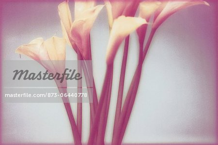 Calla Lilies Stock Photo - Rights-Managed, Image code: 873-06440778