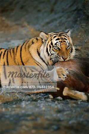 Tiger with Prey Stock Photo - Rights-Managed, Image code: 873-06440954