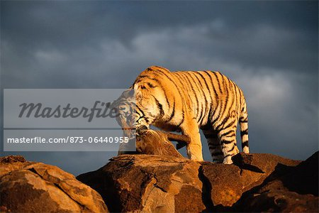 Tiger with Prey Stock Photo - Rights-Managed, Image code: 873-06440955