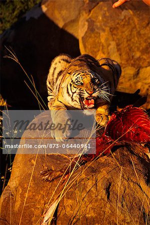 Tiger with Prey, Karoo, South Africa Stock Photo - Rights-Managed, Image code: 873-06440961