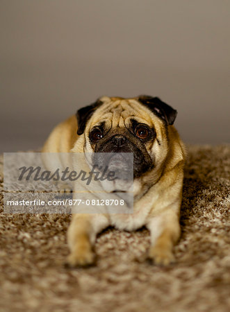 Pug dog portait Stock Photo - Rights-Managed, Image code: 877-08128708