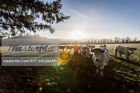 France, Auvergne, Charolais cattle herd in field Stock Photo - Rights-Managed, Image code: 877-08129247