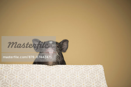 A small pig peering over the edge of a bed, in a domestic house Stock Photo - Rights-Managed, Image code: 878-07442471